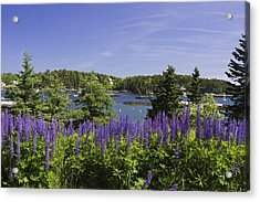 South Bristol And Lupine Flowers On The Coast Of Maine Acrylic Print by Keith Webber Jr