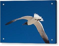 South Padre Seagull Acrylic Print by Bonita Hensley
