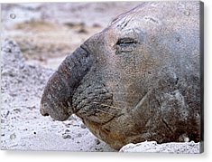 Southern Elephant Seal Adult Bull Acrylic Print by Martin Zwick