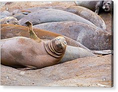 Southern Elephant Seals Acrylic Print by Ashley Cooper