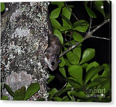Southern Flying Squirrel Acrylic Print by Al Powell Photography USA