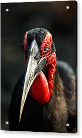 Southern Ground Hornbill Portrait Front View Acrylic Print by Johan Swanepoel