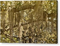 Spanish Moss On Live Oaks Acrylic Print by Christine Till