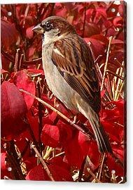 Sparrow Acrylic Print by Rona Black