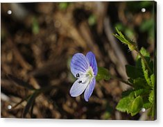 Speedwell Acrylic Print by Billy  Griffis Jr