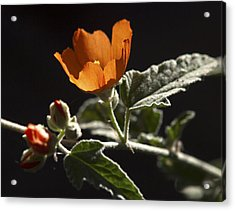 Sphaeralcea Ambigua Acrylic Print by Joe Schofield