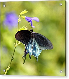Spicebush Swallowtail Butterfly In Pastel Acrylic Print by Suzanne Gaff