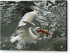 Splashing Pelican Acrylic Print by Bonita Hensley