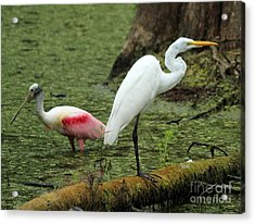 Spoonbill And Egret Acrylic Print by Theresa Willingham