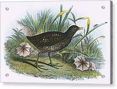 Spotted Crake Acrylic Print by English School