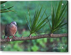 Spotted Dove Acrylic Print by Elizabeth Winter