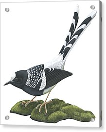 Spotted Forktail Acrylic Print by Anonymous
