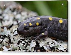 Spotted Salamander Acrylic Print by Bruce J Robinson
