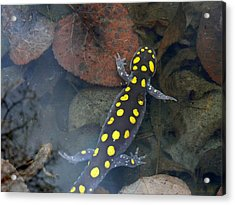 Spotted Salamander Acrylic Print by Christina Rollo