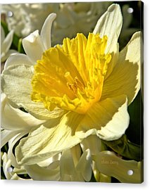Spring Bloomers Acrylic Print by Chris Berry