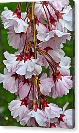 Spring Blossom Acrylic Print by Frozen in Time Fine Art Photography