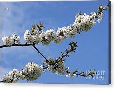 Spring Blossoms 6 Acrylic Print by Carol Lynch