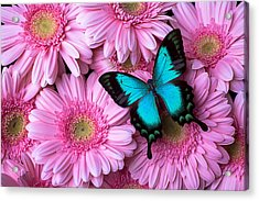 Spring Blue Butterfly Acrylic Print by Garry Gay