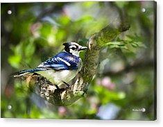 Spring Blue Jay Acrylic Print by Christina Rollo