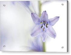 Spring Bluebells Acrylic Print by Carol Leigh