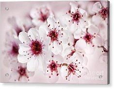 Spring Cherry Blossom Acrylic Print by Elena Elisseeva