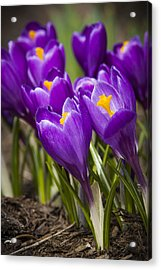 Spring Crocus Bloom Acrylic Print by Adam Romanowicz