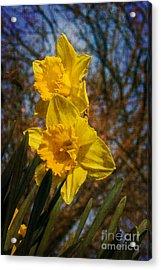 Spring Daffodils  Acrylic Print by Brian Roscorla