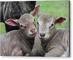Spring Lambs Acrylic Print by Pete Hemington
