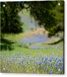 Spring Lupines Acrylic Print by Art Block Collections