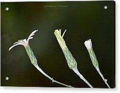 Spring Phase Acrylic Print by Sonali Gangane