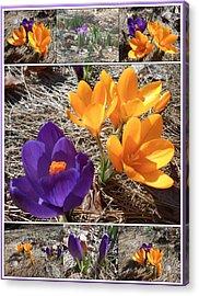 Spring Time Crocuses Acrylic Print by Patricia Keller