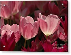 Spring Tulips Acrylic Print by Kathleen Struckle