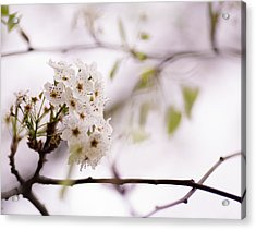 Springs Blossom  Acrylic Print by Mike Lee