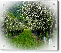 Springtime In The Orchard Acrylic Print by Bill Gallagher