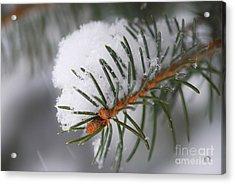 Spruce Branch With Snow Acrylic Print by Elena Elisseeva