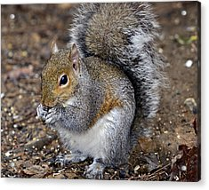 Squirrel Eating Sunflower Seed Acrylic Print by Susan Leggett