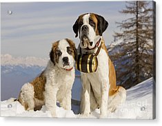 St Bernard And Puppy Acrylic Print by Jean-Michel Labat