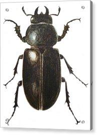 Stag Beetle Acrylic Print by Ele Grafton
