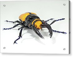 Stag Beetle Acrylic Print by Tomasz Litwin