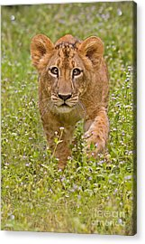 Stalking Practice Acrylic Print by Ashley Vincent