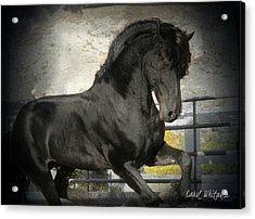 Stallion Power Acrylic Print by Royal Grove Fine Art