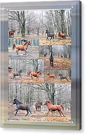 Stallions Enjoy Some Horsing Around Acrylic Print by Patricia Keller