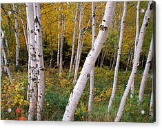 Stand Of White Birch Trees Acrylic Print by Panoramic Images