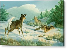 Stand-off  -whitetail Doe And Coyotes Acrylic Print by Paul Krapf