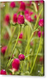 Stand Tall Acrylic Print by Heather Applegate