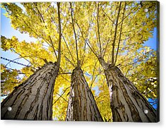 Standing Tall Autumn Maple Acrylic Print by James BO  Insogna