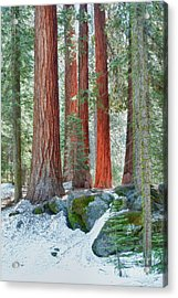 Standing Tall - Sequoia National Park Acrylic Print by Sandra Bronstein