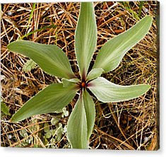 Starfish Plant Acrylic Print by Rich Franco