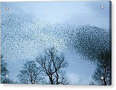 Starlings Flying To Roost Acrylic Print by Ashley Cooper