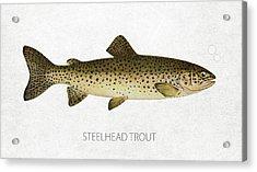 Steelhead Trout Acrylic Print by Aged Pixel